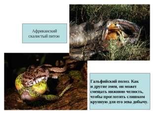 Гальфийский полоз. Как и другие змеи, он может смещать нижнюю челюсть, чтобы