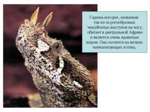 Гадюка-носорог, названная так из-за рогообразных чешуйчатых выступов на носу,