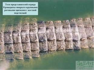 Тело представителей отряда Крокодилы покрыто крупными роговыми щитками с кост