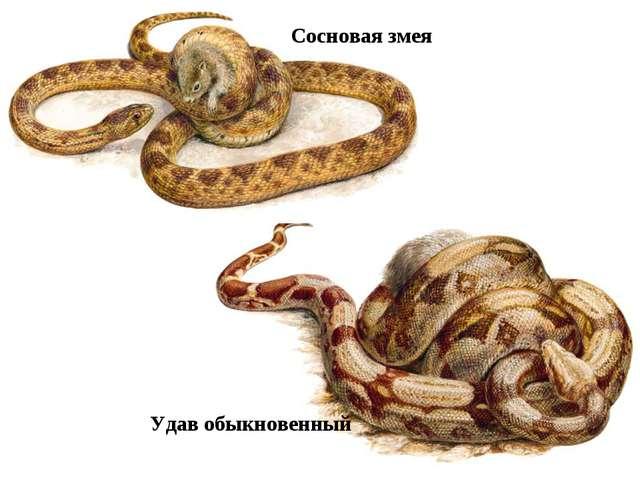 Сосновая змея Удав обыкновенный