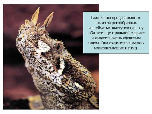 Гадюка-носорог, названная так из-за рогообразных чешуйчатых выступов на носу,...