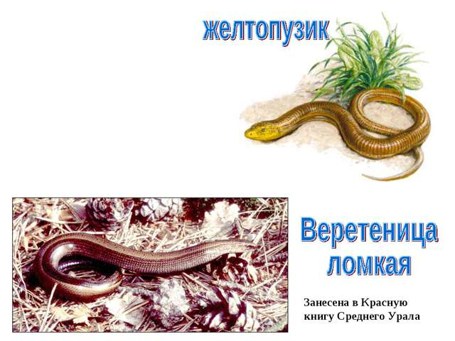 Занесена в Красную книгу Среднего Урала