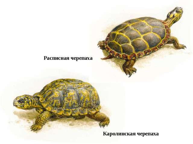 Каролинская черепаха Расписная черепаха