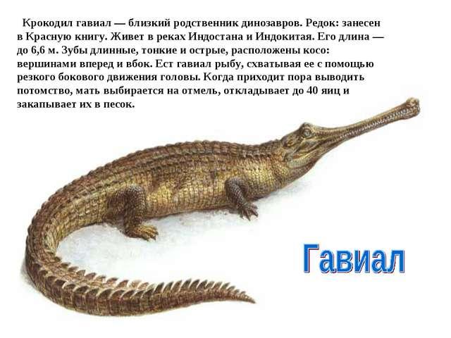 Крокодил гавиал — близкий родственник динозавров. Редок: занесен в Красную...