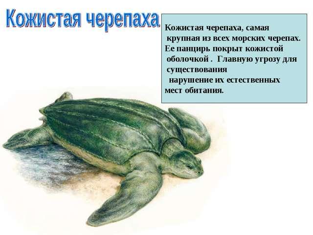 Кожистая черепаха, самая крупная из всех морских черепах. Ее панцирь покрыт к...