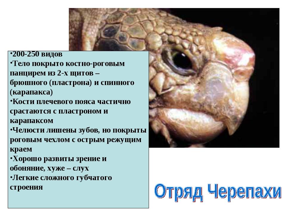200-250 видов Тело покрыто костно-роговым панцирем из 2-х щитов – брюшного (п...