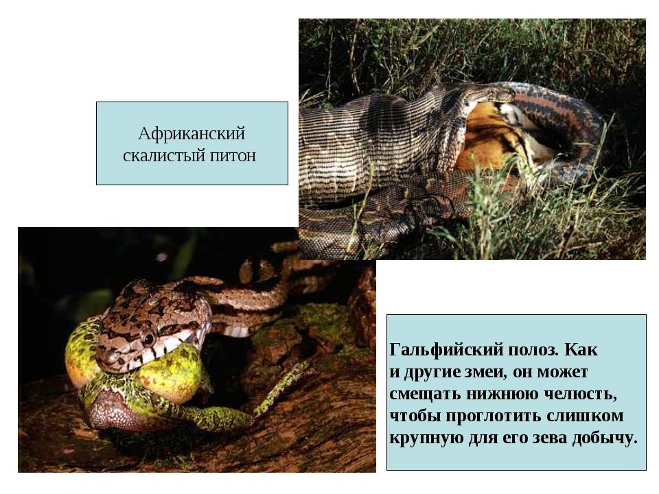 Гальфийский полоз. Как и другие змеи, он может смещать нижнюю челюсть, чтобы...