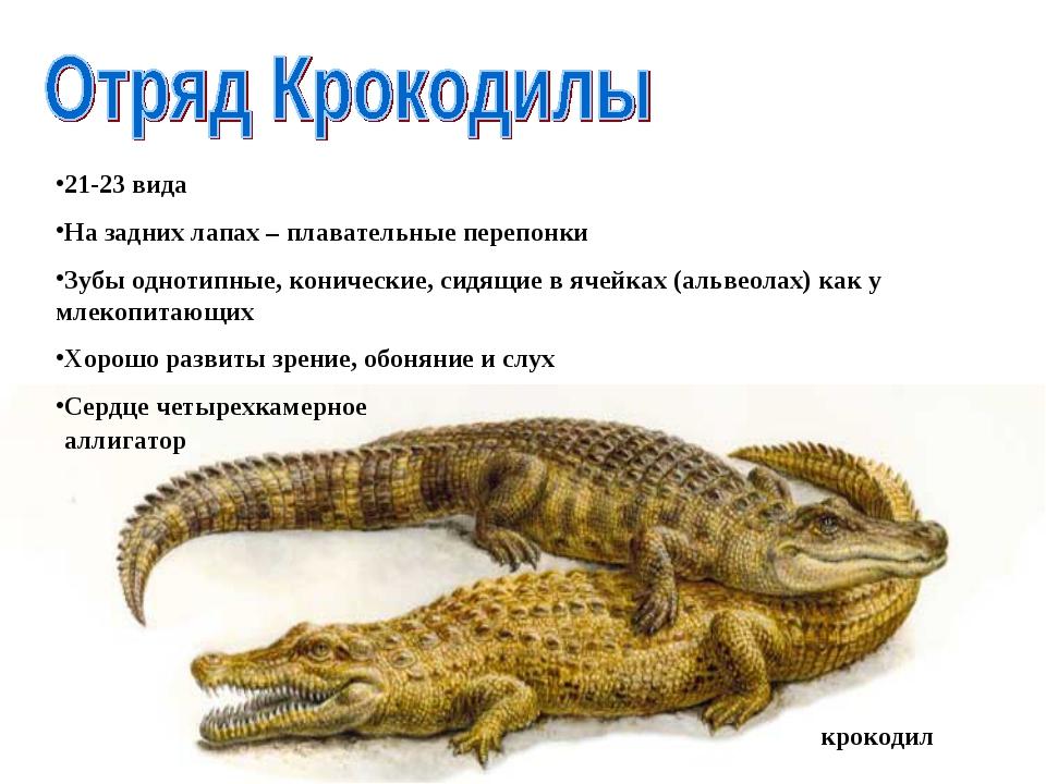 крокодил аллигатор 21-23 вида На задних лапах – плавательные перепонки Зубы...