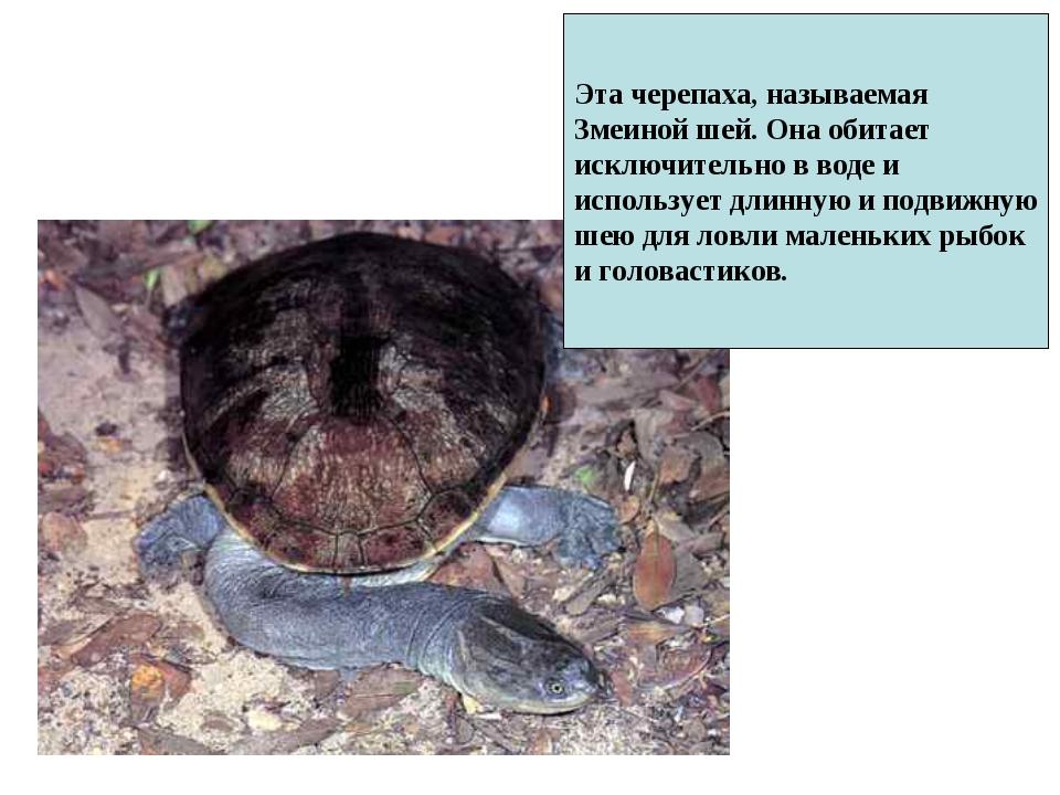 Эта черепаха, называемая Змеиной шей. Она обитает исключительно в воде и испо...