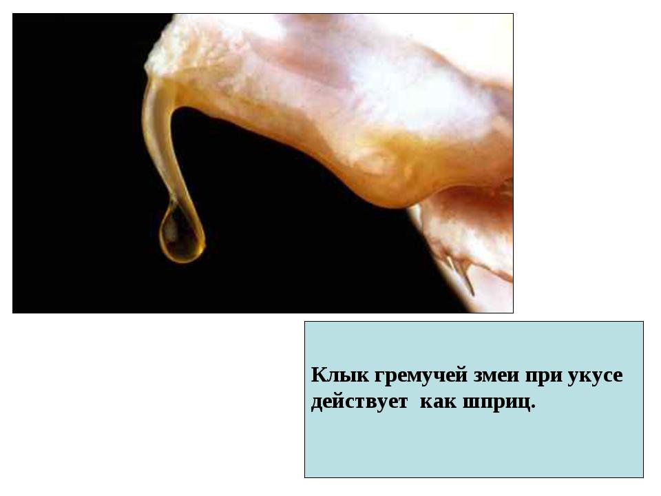 Клык гремучей змеи при укусе действует как шприц.