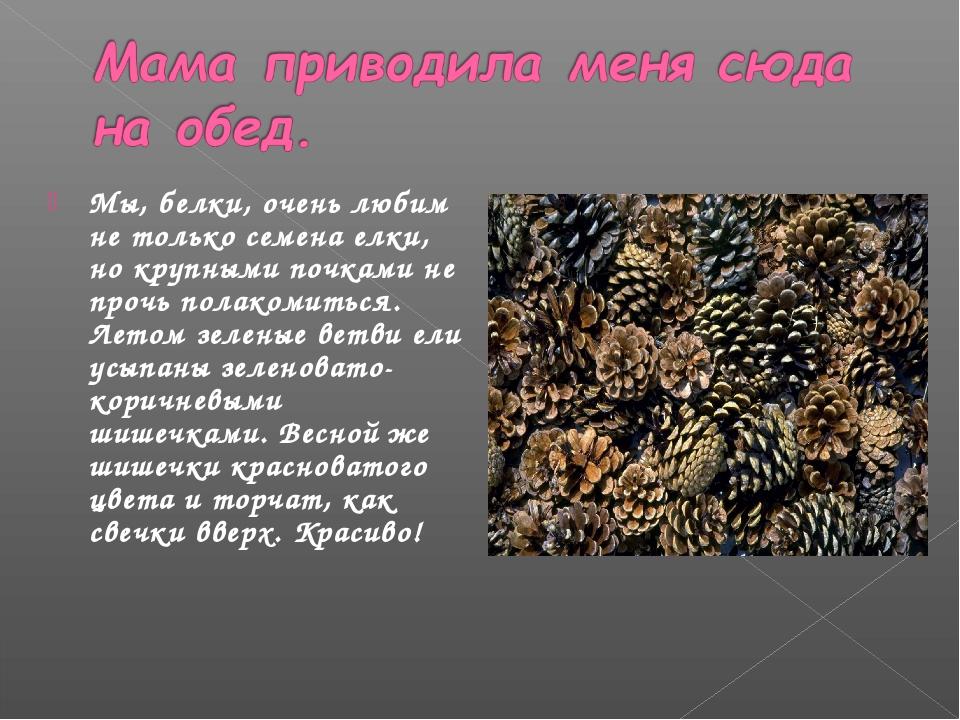 Мы, белки, очень любим не только семена елки, но крупными почками не прочь по...
