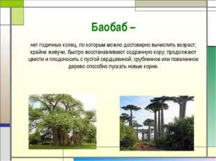 Баобаб – нетгодичных колец, по которым можно достоверно вычислить возраст; к