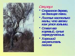 Саксаул Странное дерево, не дающее тени. Листья настолько малы, что ветки каж