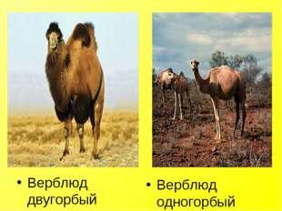 Верблюд двугорбый Верблюд одногорбый