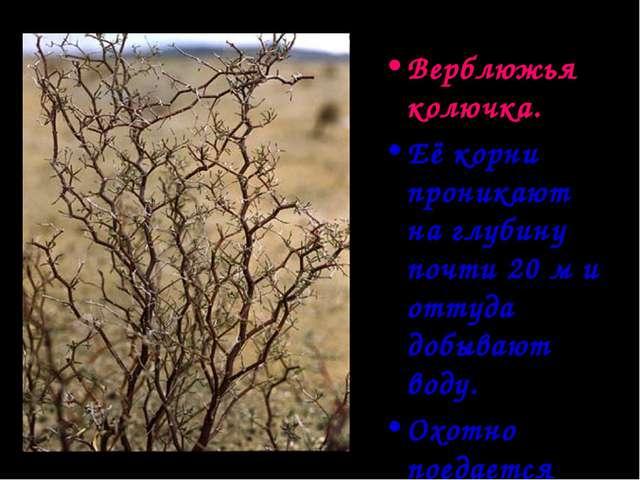 Верблюжья колючка. Её корни проникают на глубину почти 20 м и оттуда добывают...