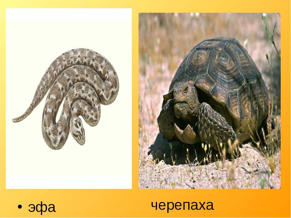 эфа черепаха