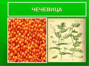 ЧЕЧЕВИЦА