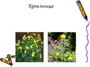 Многолетнее травянистое растение жёлтого и оранжевого цвета, высотой 40-60 см