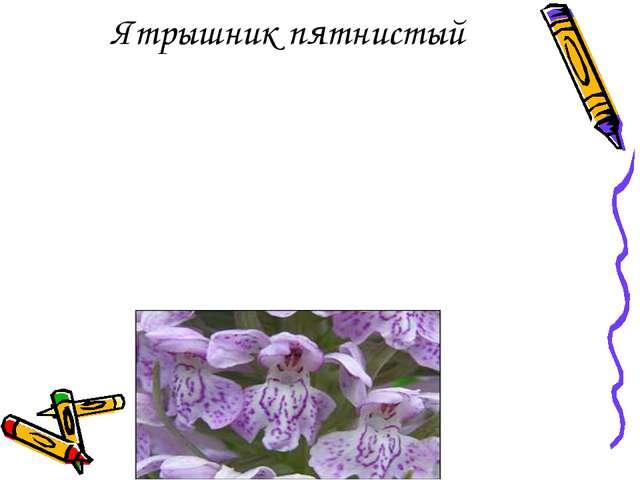 Ятрышник пятнистый из семейства орхидных . Родовое название означает «орхидея...
