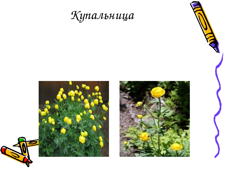 Многолетнее травянистое растение жёлтого и оранжевого цвета, высотой 40-60 см...
