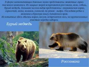 . В фауне млекопитающих довольно полно представлены животные горно-таежного к