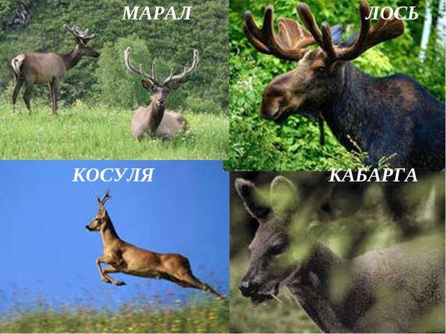 МАРАЛ ЛОСЬ КОСУЛЯ КАБАРГА .