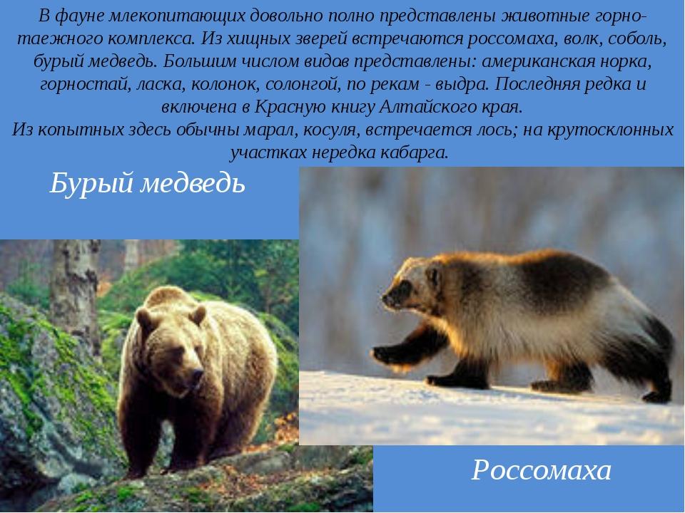 . В фауне млекопитающих довольно полно представлены животные горно-таежного к...