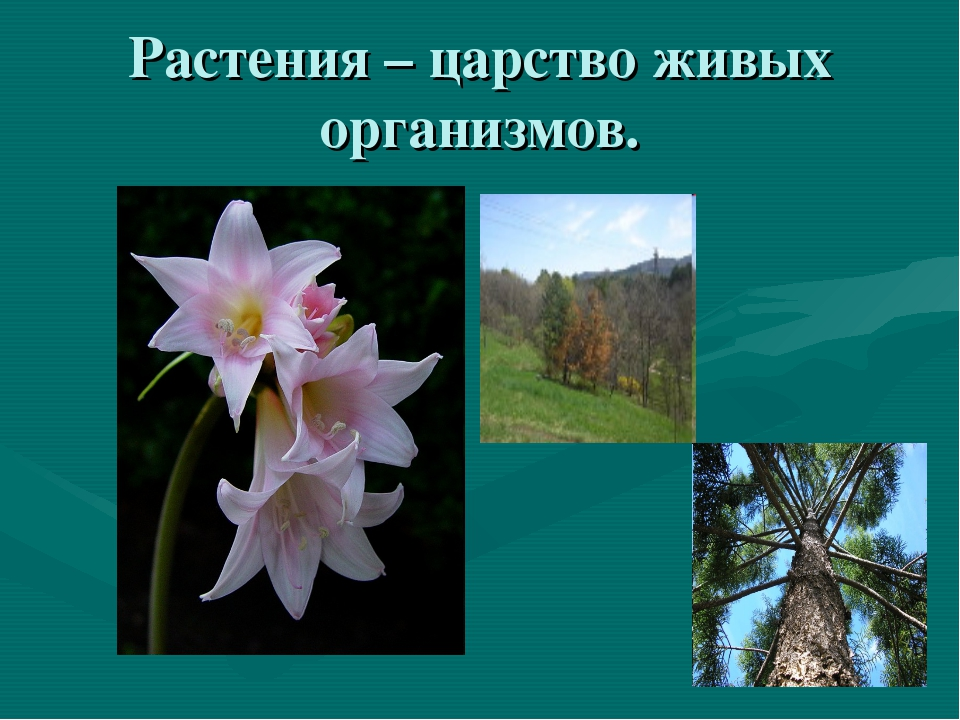 Растения – царство живых организмов.