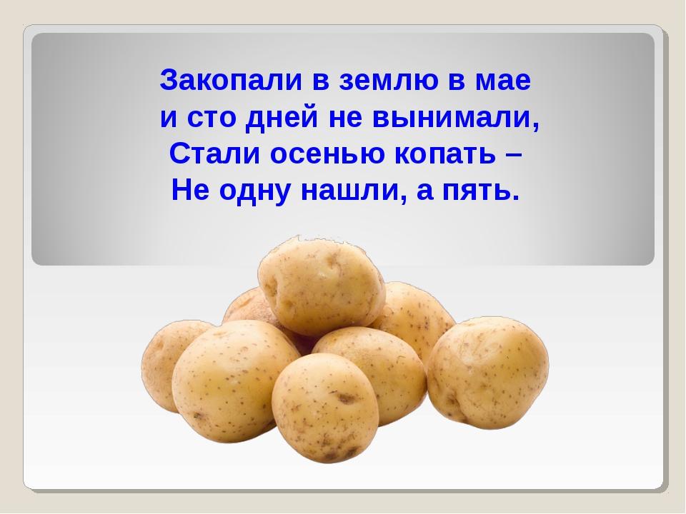 Закопали в землю в мае и сто дней не вынимали, Стали осенью копать – Не одну...