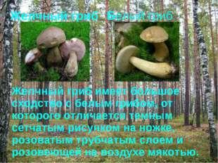 Желчный гриб Белый гриб Желчный гриб имеет большое сходство с белым грибом, о