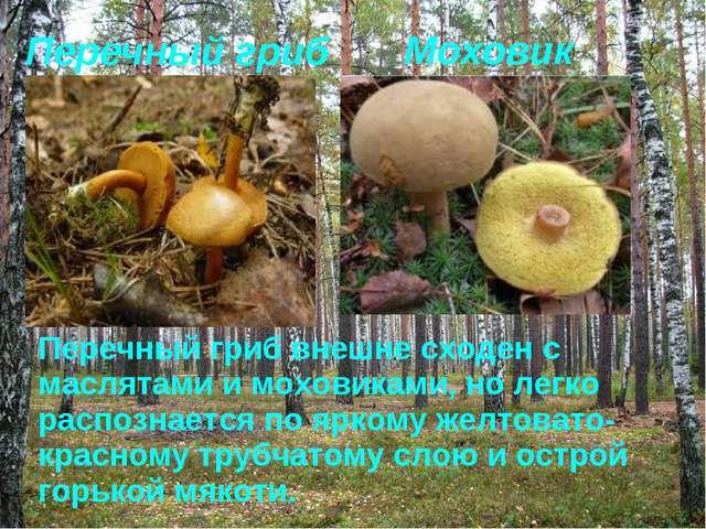 Перечный гриб Моховик Перечный гриб внешне сходен с маслятами и моховиками, н...