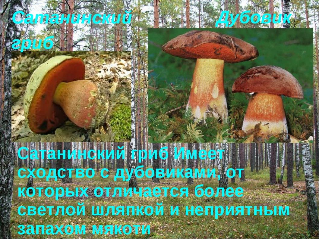 Дубовик Сатанинский гриб Имеет сходство с дубовиками, от которых отличается б...