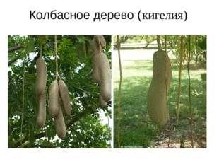 Колбасное дерево ( кигелия)