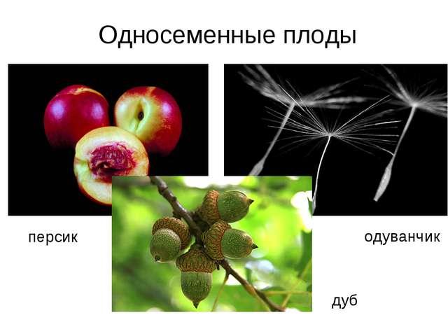 персик одуванчик дуб Односеменные плоды