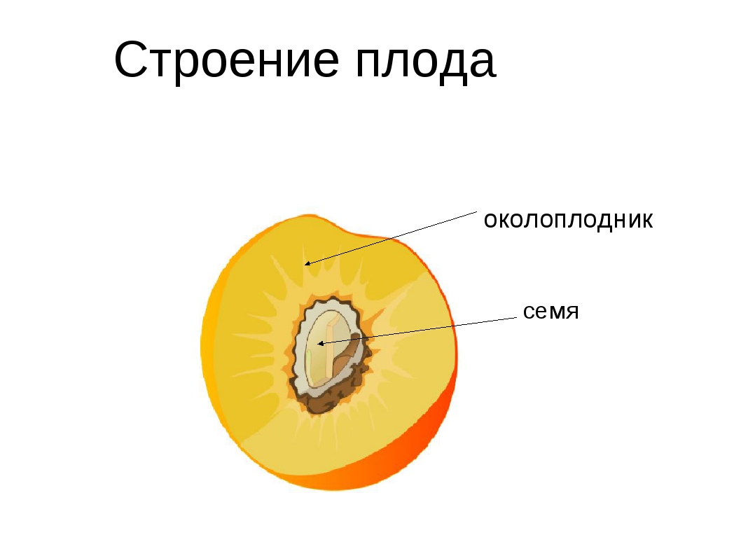 околоплодник семя Строение плода