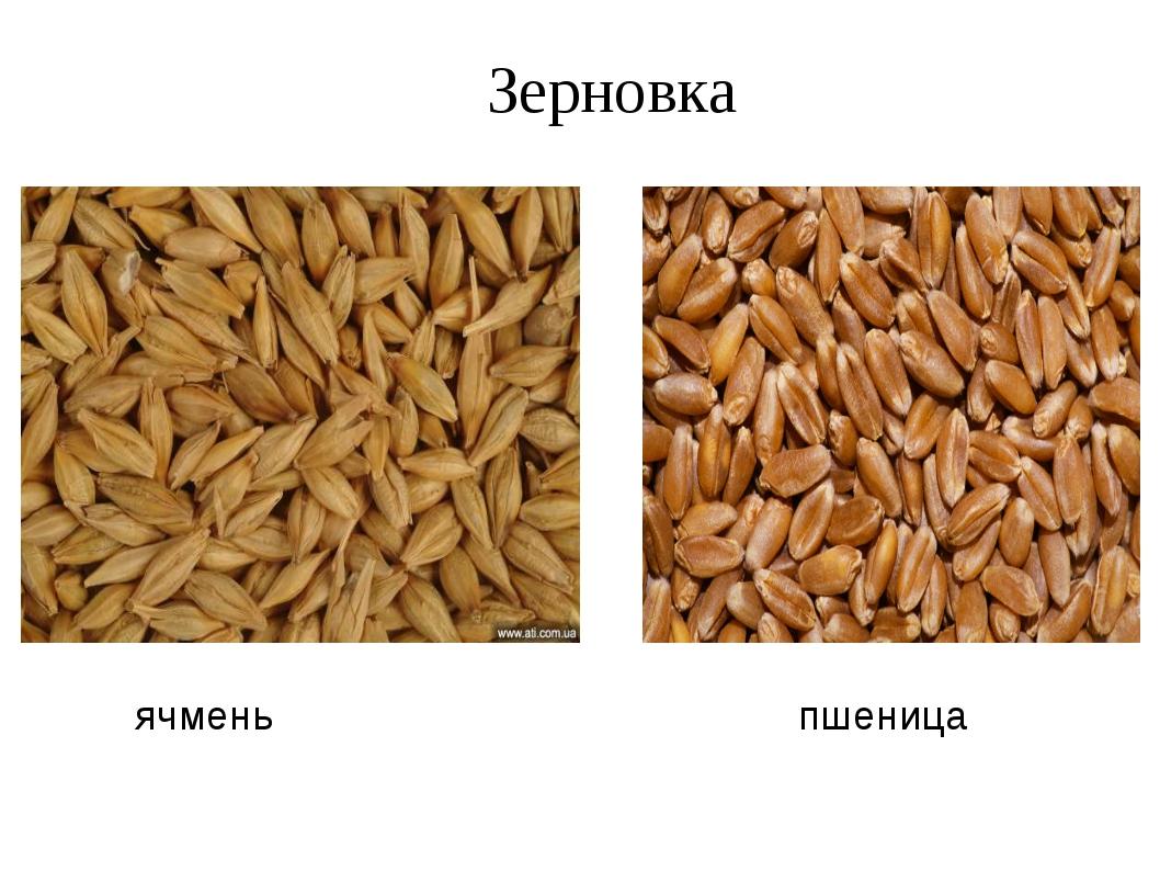 ячмень пшеница Зерновка