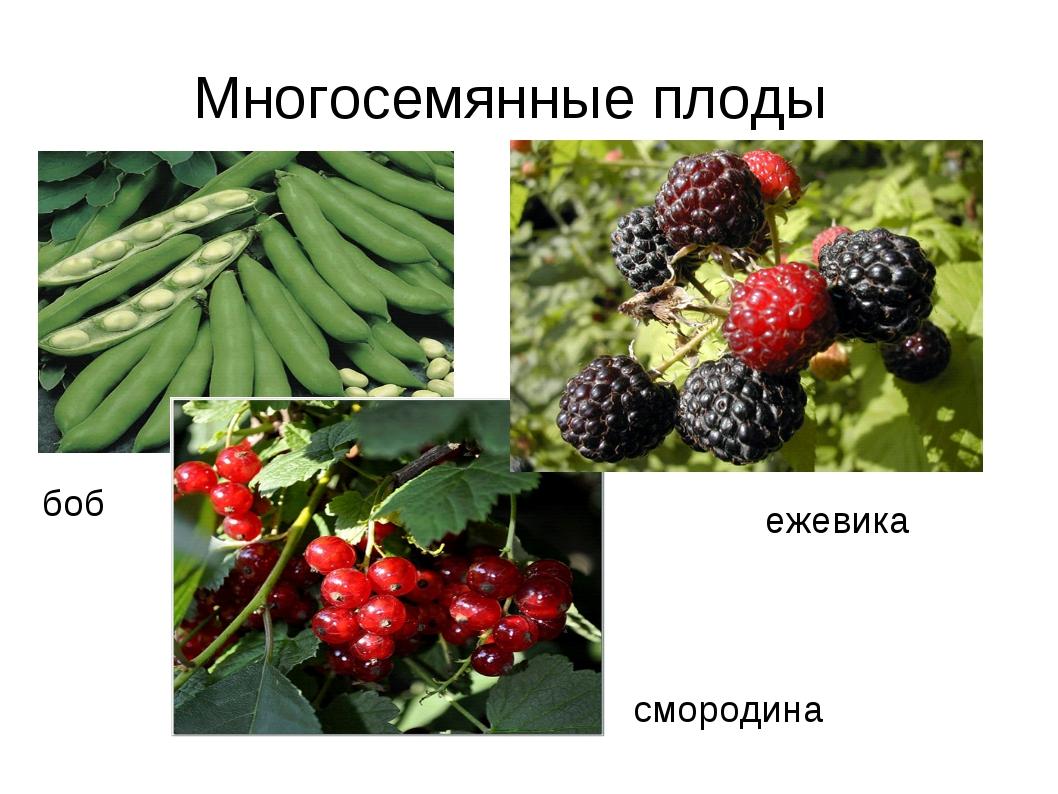 боб ежевика смородина Многосемянные плоды