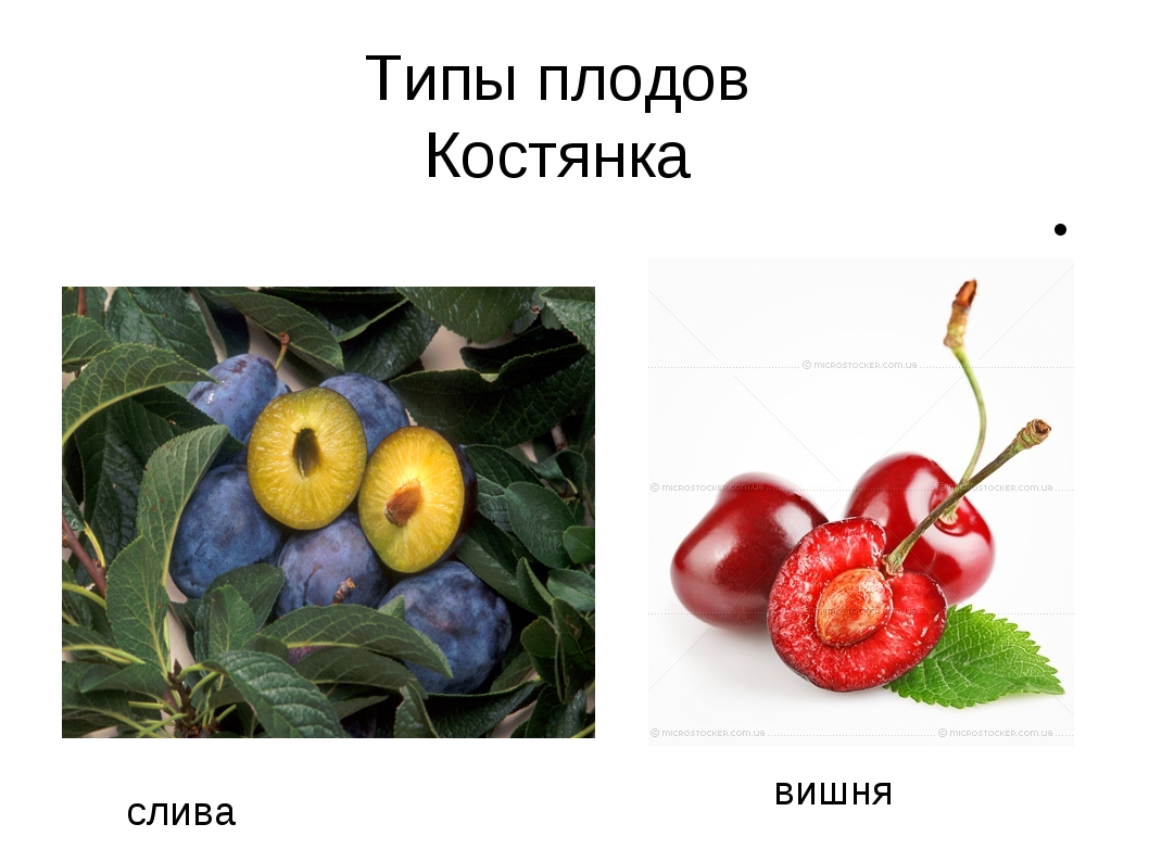 Костянка слива вишня Типы плодов Костянка
