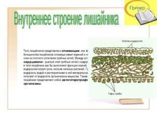 Тело лишайников представлено слоевищем, или талломом. У большинства лишайнико