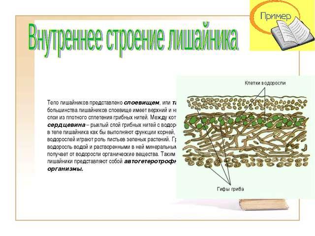 Тело лишайников представлено слоевищем, или талломом. У большинства лишайнико...