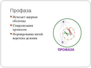 Профаза Исчезает ядерная оболочка Спирализация хромосом Формирование нитей ве