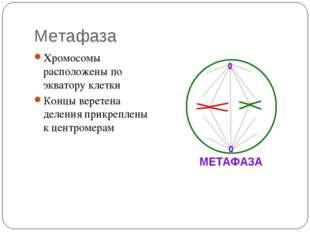 Метафаза Хромосомы расположены по экватору клетки Концы веретена деления прик