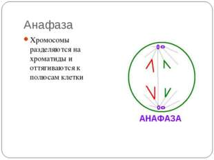 Анафаза Хромосомы разделяются на хроматиды и оттягиваются к полюсам клетки