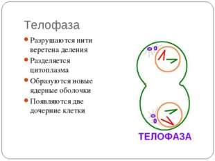 Телофаза Разрушаются нити веретена деления Разделяется цитоплазма Образуются