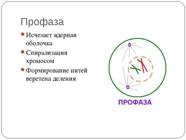 Профаза Исчезает ядерная оболочка Спирализация хромосом Формирование нитей ве...