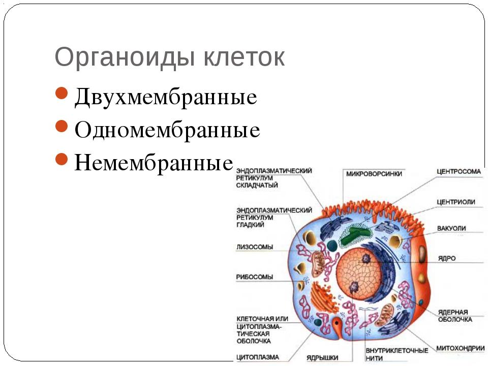 Органоиды клеток Двухмембранные Одномембранные Немембранные