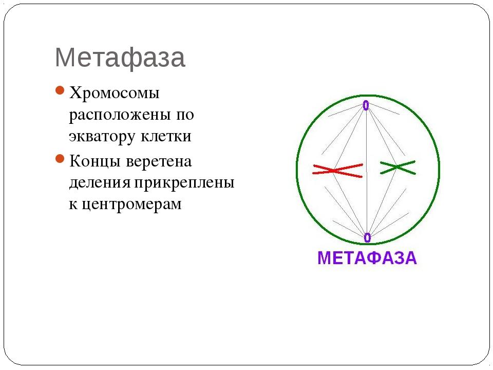 Метафаза Хромосомы расположены по экватору клетки Концы веретена деления прик...