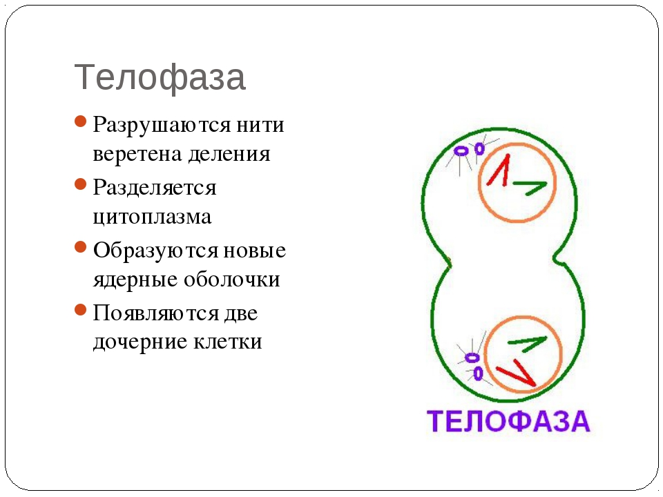 Телофаза Разрушаются нити веретена деления Разделяется цитоплазма Образуются...