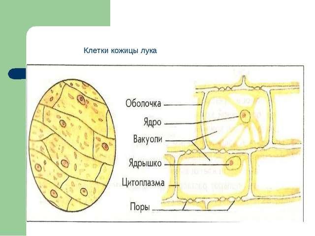 Клетки кожицы лука