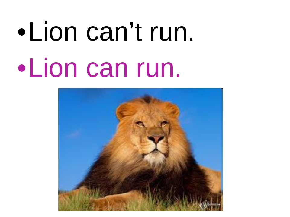 Lion can't run. Lion can run.